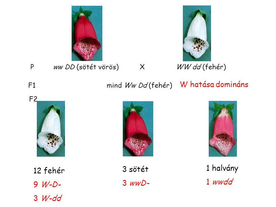 pigment előanyag festék lerakódás D allél W allél w allél d allél kevés antocián pigment előanyag nincs festék lerakódás sok antocián Domináns episztázis (gyűszűvirág) A gyűszűvirág pártaszíne több lókusz befolyásolja.