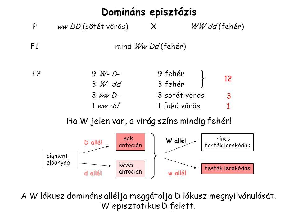WW dd (fehér) Xww DD (sötét vörös)P mind Ww Dd (fehér)F1 12 fehér 9 W-D- 3 W-dd 3 sötét 3 wwD- 1 halvány 1 wwdd F2 W hatása domináns