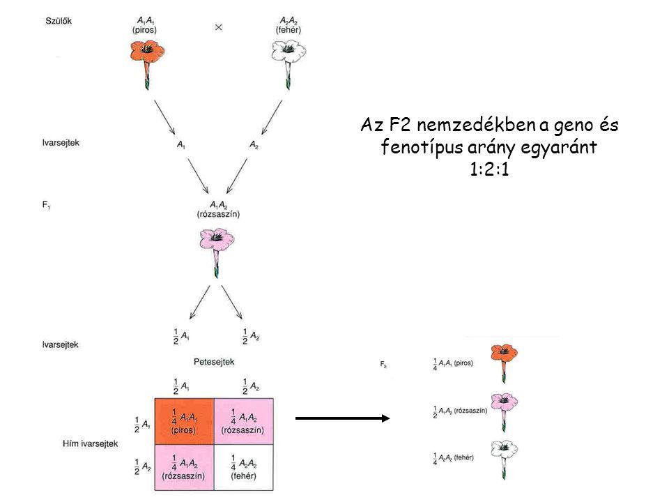 A komplementer génhatás színtelen pigment előanyag 1 előanyag 2 pigment A allél B allél a allél b allél aa fenotípus = bb fenotípus = színtelen