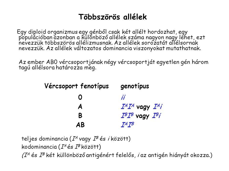 Többszörös allélek Egy diploid organizmus egy génből csak két allélt hordozhat, egy populációban azonban a különböző allélek száma nagyon nagy lehet, ezt nevezzük többszörös allélizmusnak.