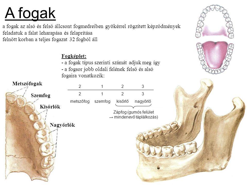 a fogak az alsó és felső állcsont fogmedreiben gyökérrel rögzített képződmények feladatuk a falat leharapása és felaprítása felnőtt korban a teljes fo