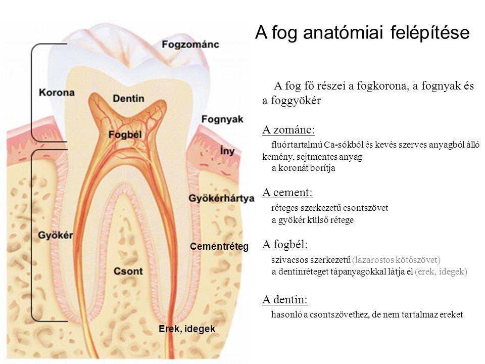 A fog anatómiai felépítése A fog fő részei a fogkorona, a fognyak és a foggyökér A zománc: fluórtartalmú Ca-sókból és kevés szerves anyagból álló kemé