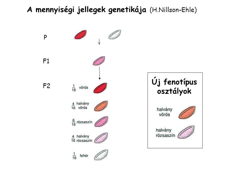 A mennyiségi jellegek genetikája (H.Nillson-Ehle) P F1 F2 Új fenotípus osztályok