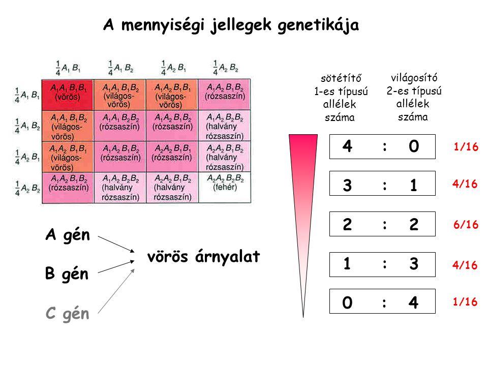 A gén B gén vörös árnyalat C gén sötétítő 1-es típusú allélek száma 4 : 0 3 : 1 2 : 2 1 : 3 0 : 4 világosító 2-es típusú allélek száma 1/16 4/16 1/16