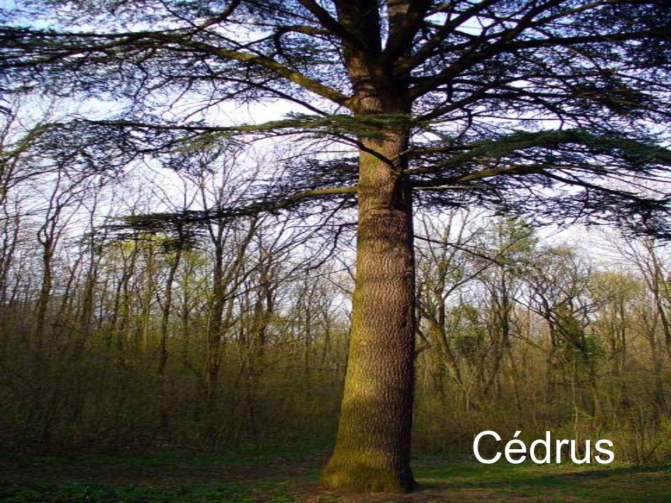 Cédrus