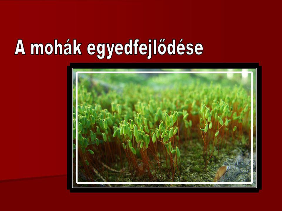 spóra fonalas előtelep mohanövény ivarszervekkel spóratartó spóra zigóta (spóratartó) 1.1.