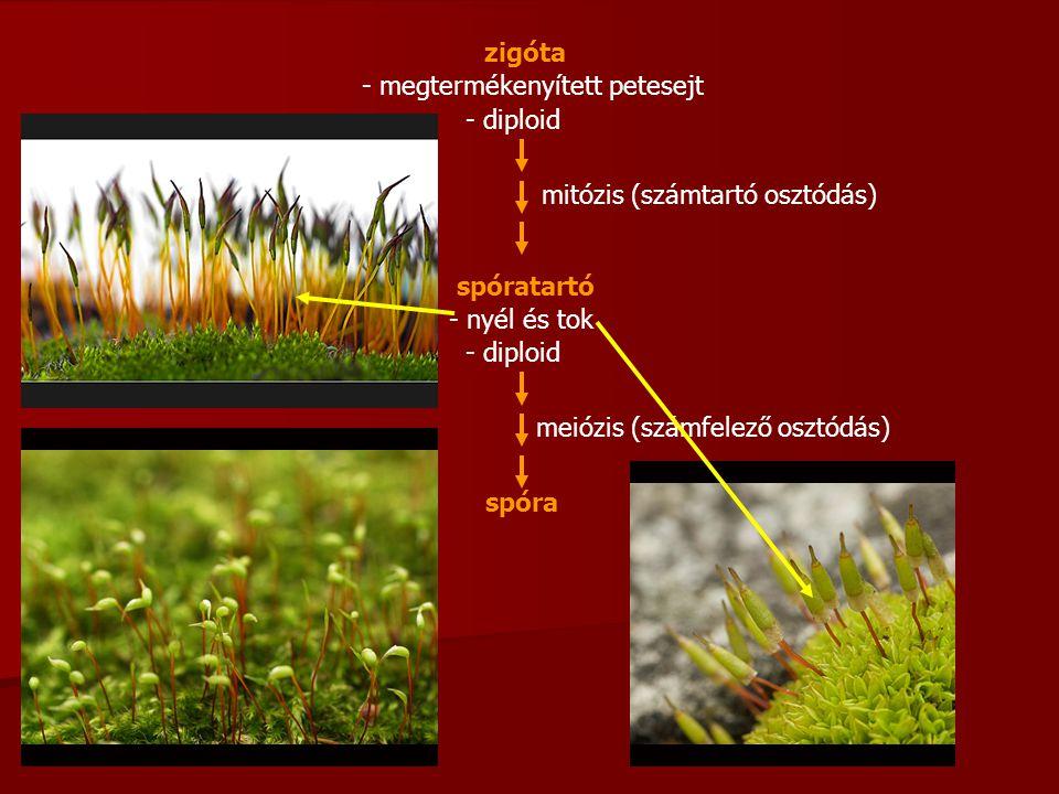 zigóta - diploid - megtermékenyített petesejt mitózis (számtartó osztódás) spóratartó - diploid - nyél és tok spóra meiózis (számfelező osztódás)