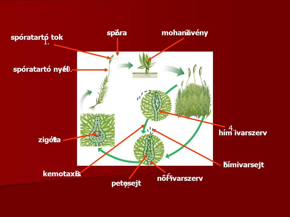 1. 2.3. 4. 5. 10. 6. 7. 8. 9. spóratartó tok spóramohanövény hím ivarszerv hímivarsejt női ivarszerv petesejt kemotaxis zigóta spóratartó nyél