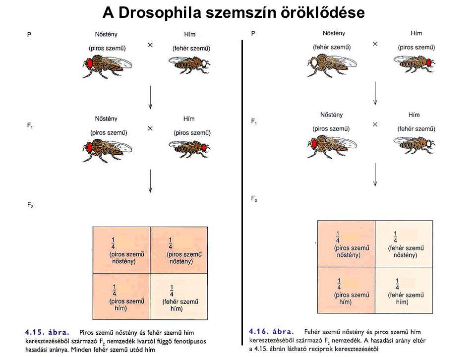 A Drosophila szemszín öröklődése