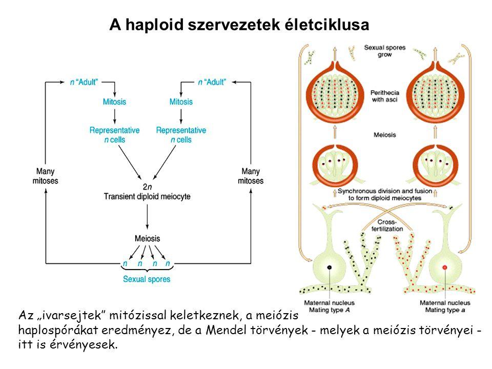 """A haploid szervezetek életciklusa Az """"ivarsejtek"""" mitózissal keletkeznek, a meiózis haplospórákat eredményez, de a Mendel törvények - melyek a meiózis"""