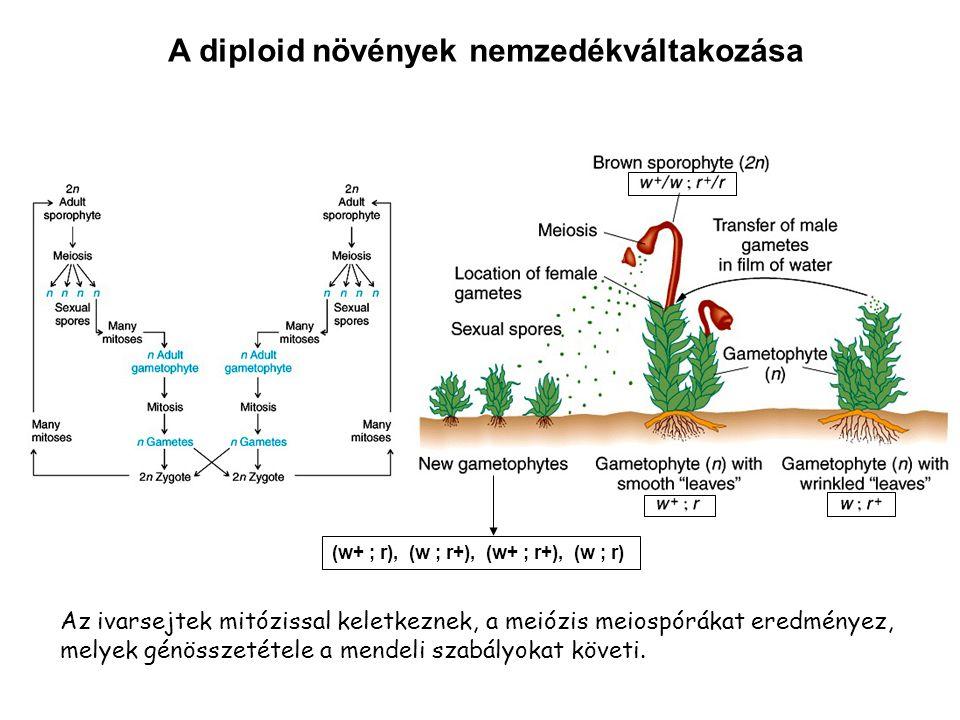 A diploid növények nemzedékváltakozása Az ivarsejtek mitózissal keletkeznek, a meiózis meiospórákat eredményez, melyek génösszetétele a mendeli szabál