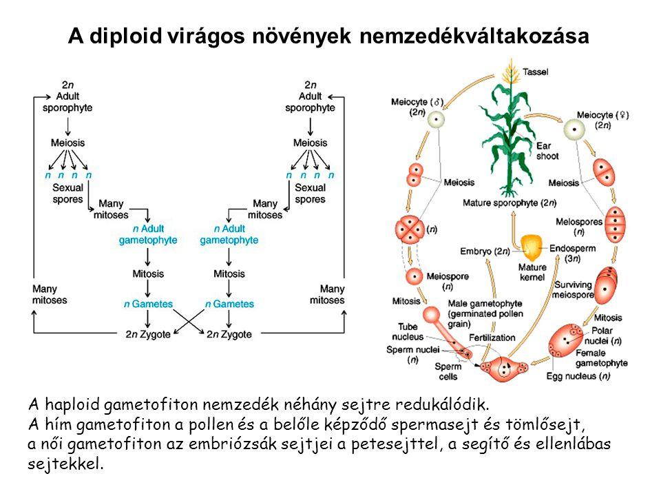 A diploid virágos növények nemzedékváltakozása A haploid gametofiton nemzedék néhány sejtre redukálódik. A hím gametofiton a pollen és a belőle képződ
