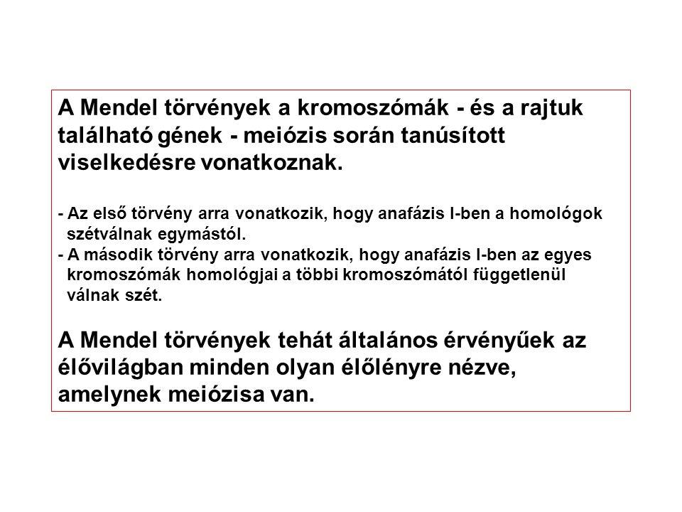A Mendel törvények a kromoszómák - és a rajtuk található gének - meiózis során tanúsított viselkedésre vonatkoznak. - Az első törvény arra vonatkozik,