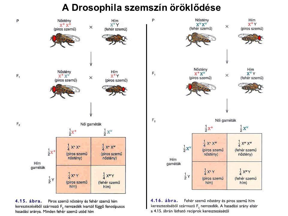 A diploid állati szervezetek életciklusa Az ivarsejtek meiózis útján keletkeznek