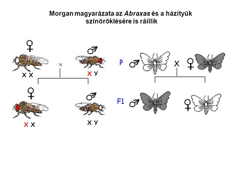Morgan magyarázata az Abraxas és a házityúk színöröklésére is ráillik X X Y X X Y Z Z Z W ZZ ZZZ Z Z Z W Ha a hím hordoz hetero- morf ivari kromoszómákat: X Y szexkromoszómák Ha a nőstény hordoz hetero- morf ivari kromoszómákat: Z W szexkromoszómák
