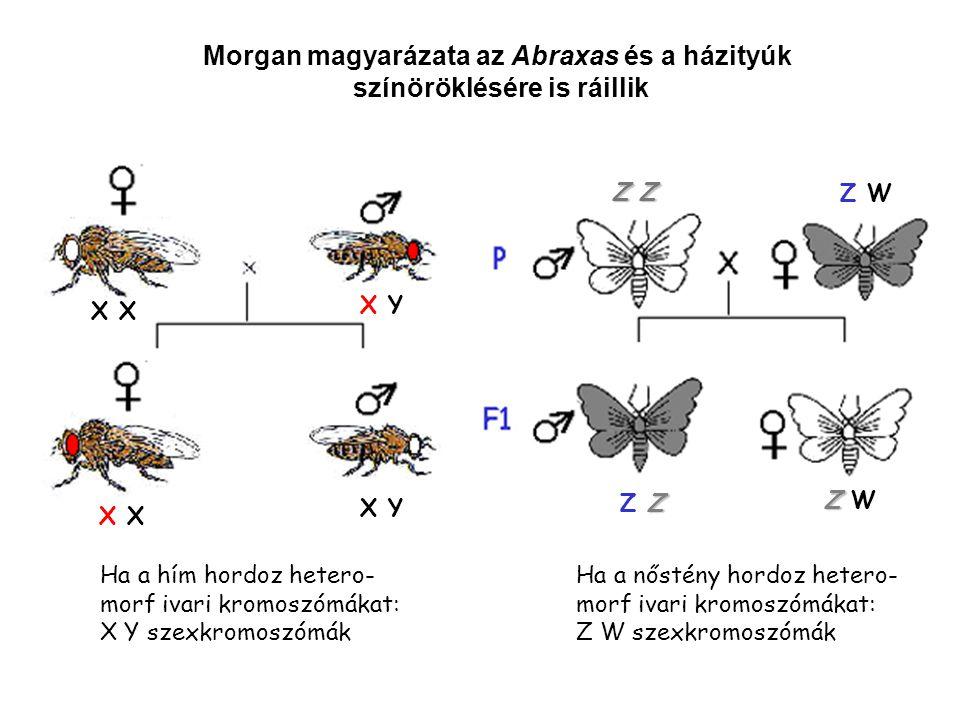 Morgan magyarázata az Abraxas és a házityúk színöröklésére is ráillik X X Y X X Y Z Z Z W ZZ ZZZ Z Z Z W Ha a hím hordoz hetero- morf ivari kromoszómá