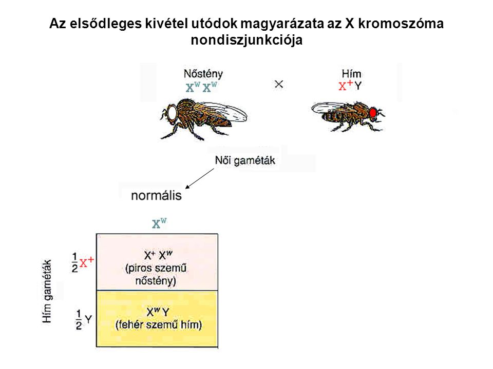 A Mendel törvények a kromoszómák - és a rajtuk található gének - meiózis során tanúsított viselkedésre vonatkoznak.