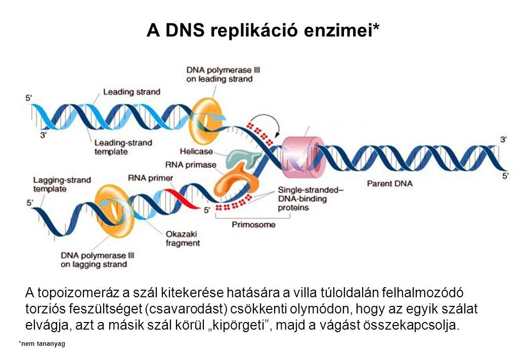 A DNS replikáció enzimei* A topoizomeráz a szál kitekerése hatására a villa túloldalán felhalmozódó torziós feszültséget (csavarodást) csökkenti olymó