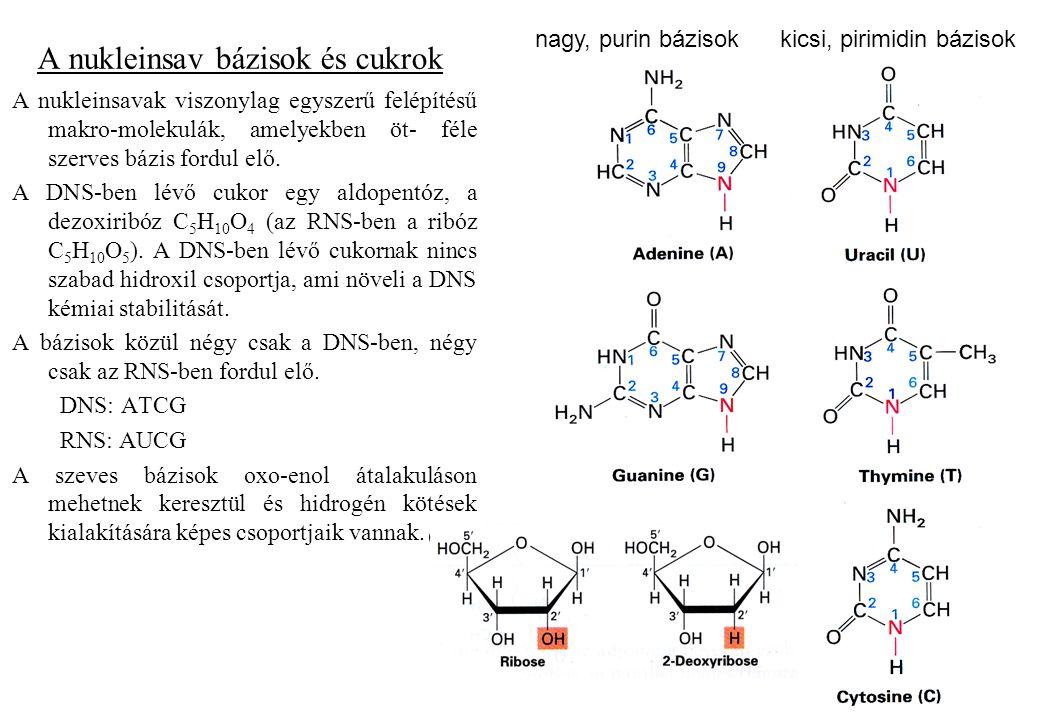 A nukleinsav bázisok és cukrok A nukleinsavak viszonylag egyszerű felépítésű makro-molekulák, amelyekben öt- féle szerves bázis fordul elő. A DNS-ben