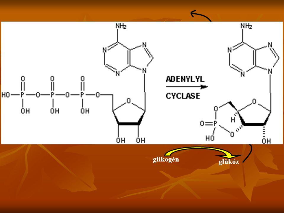a sejten kívüli tér sejthártya sejtplazma adrenalin E R cAMP ATP aktív enzim inaktív enzim glikogén glükóz