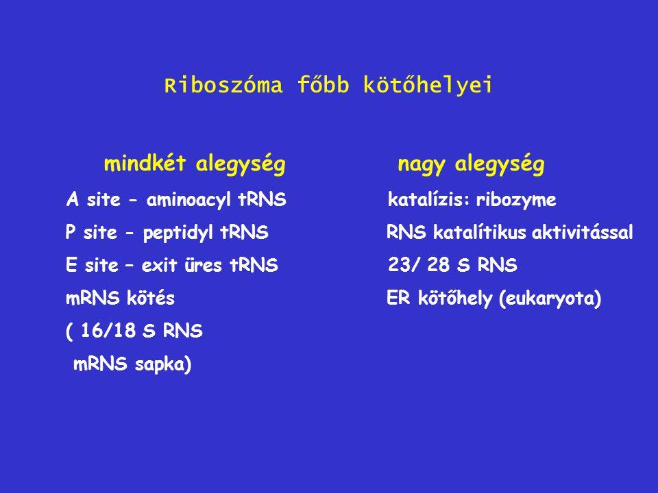Riboszóma főbb kötőhelyei mindkét alegység nagy alegység A site - aminoacyl tRNS katalízis: ribozyme P site - peptidyl tRNS RNS katalítikus aktivitáss