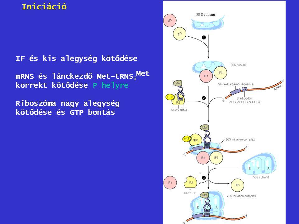 30 S subunit IF és kis alegység kötődése mRNS és lánckezdő Met-tRNS i korrekt kötődése P helyre Riboszóma nagy alegység kötődése és GTP bontás Met Ini