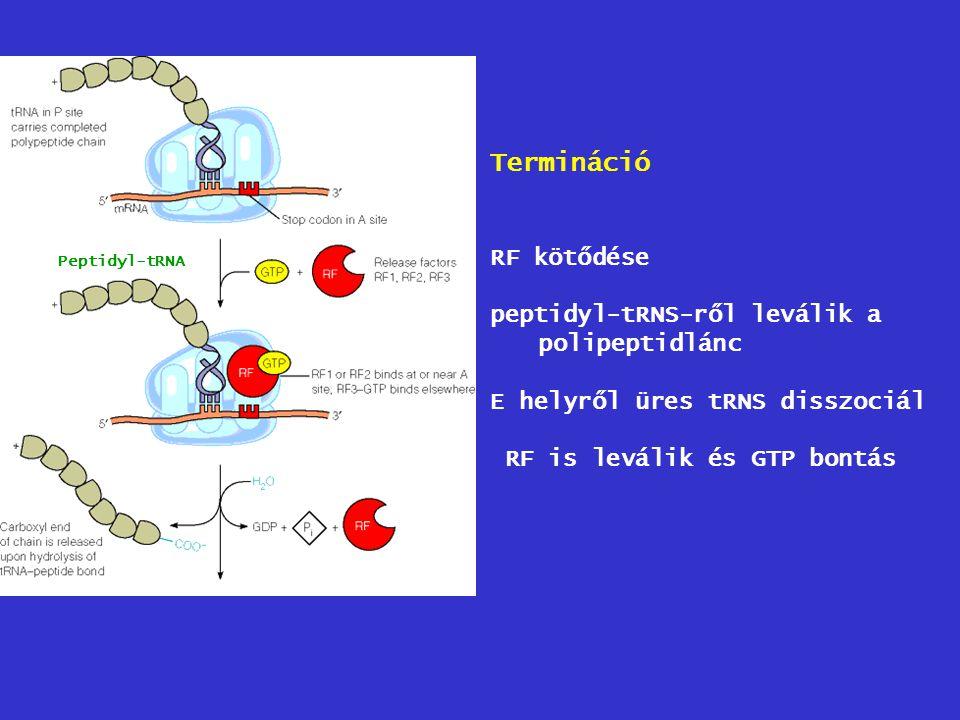 Termináció RF kötődése peptidyl-tRNS-ről leválik a polipeptidlánc E helyről üres tRNS disszociál RF is leválik és GTP bontás Peptidyl-tRNA