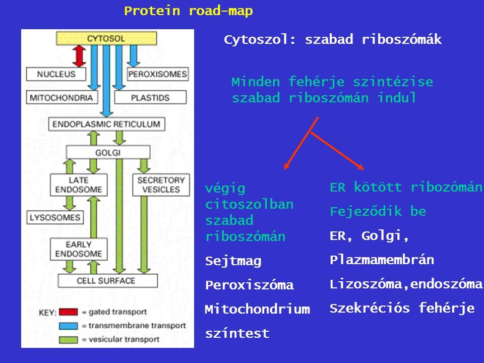 Protein road-map Cytoszol: szabad riboszómák Minden fehérje szintézise szabad riboszómán indul végig citoszolban szabad riboszómán Sejtmag Peroxiszóma