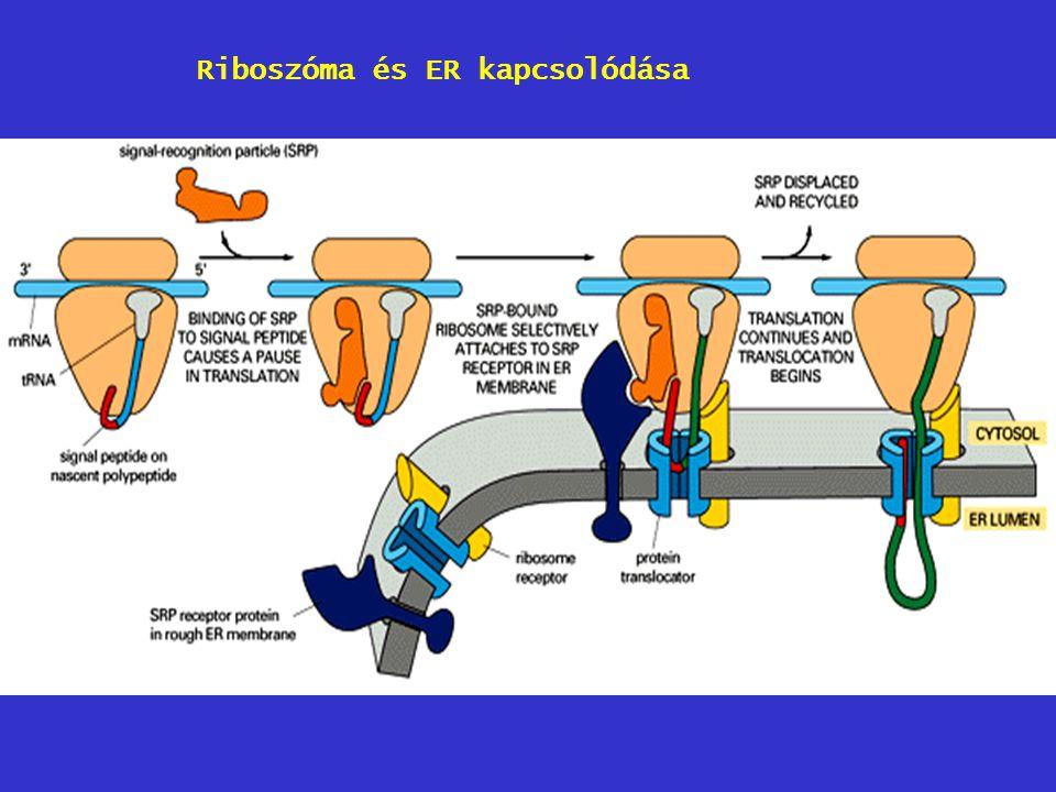 Riboszóma és ER kapcsolódása