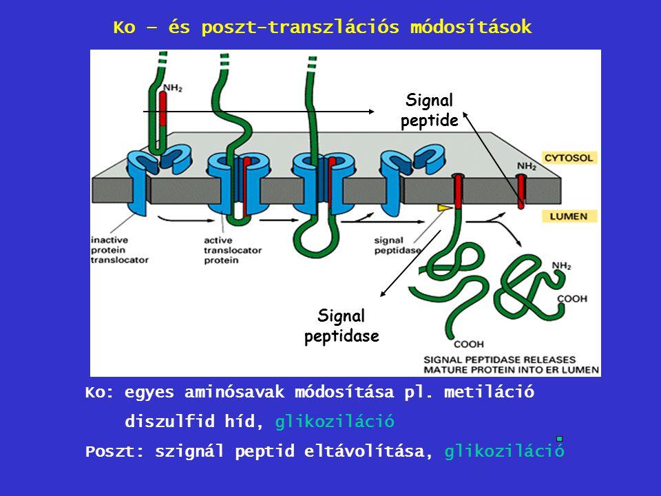 Ko – és poszt-transzlációs módosítások Signal peptidase Signal peptide Ko: egyes aminósavak módosítása pl. metiláció diszulfid híd, glikoziláció Poszt