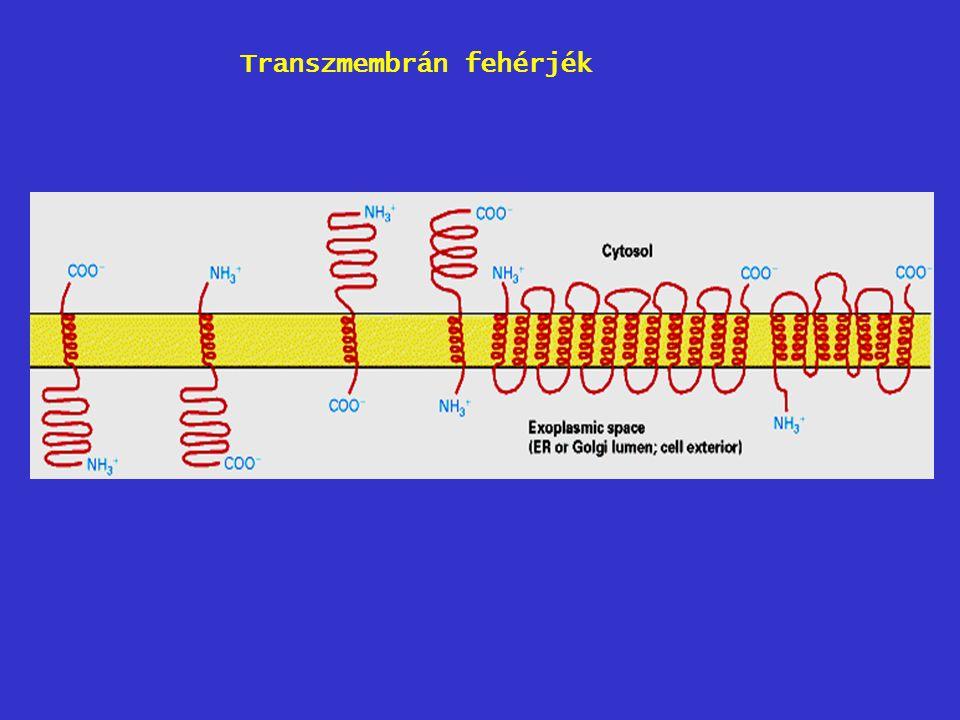 Transzmembrán fehérjék