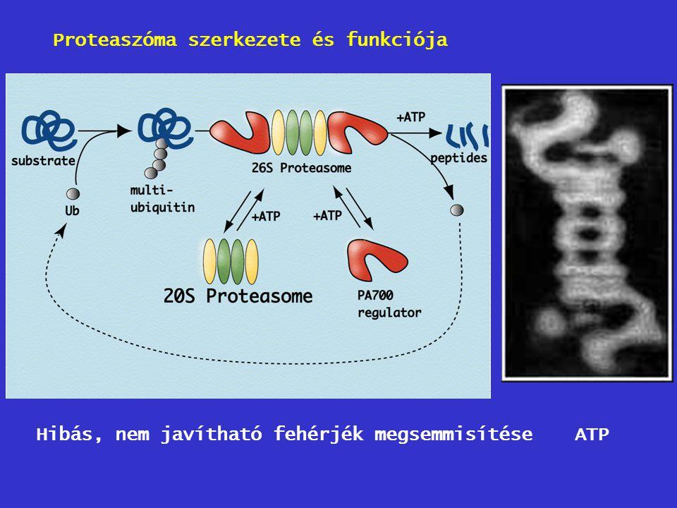 Proteaszóma szerkezete és funkciója ATPHibás, nem javítható fehérjék megsemmisítése