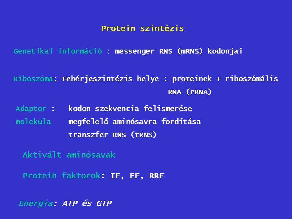 Protein szintézis Genetikai információ : messenger RNS (mRNS) kodonjai Riboszóma: Fehérjeszintézis helye : proteinek + riboszómális RNA (rRNA) Adaptor