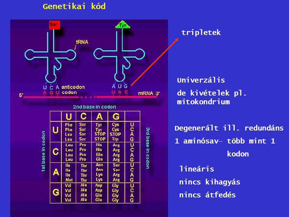 tripletek Univerzális de kivételek pl. mitokondrium Degenerált ill. redundáns 1 aminósav– több mint 1 kodon lineáris nincs kihagyás nincs átfedés Gene