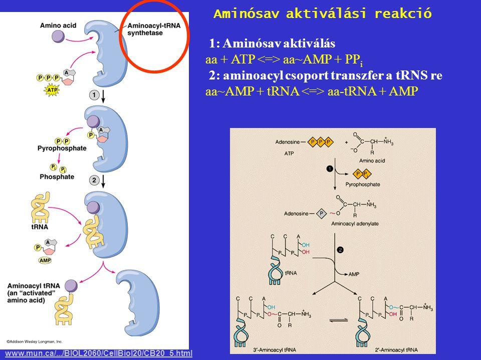 1: Aminósav aktiválás aa + ATP aa~AMP + PP i 2: aminoacyl csoport transzfer a tRNS re aa~AMP + tRNA aa-tRNA + AMP www.mun.ca/.../BIOL2060/CellBiol20/C