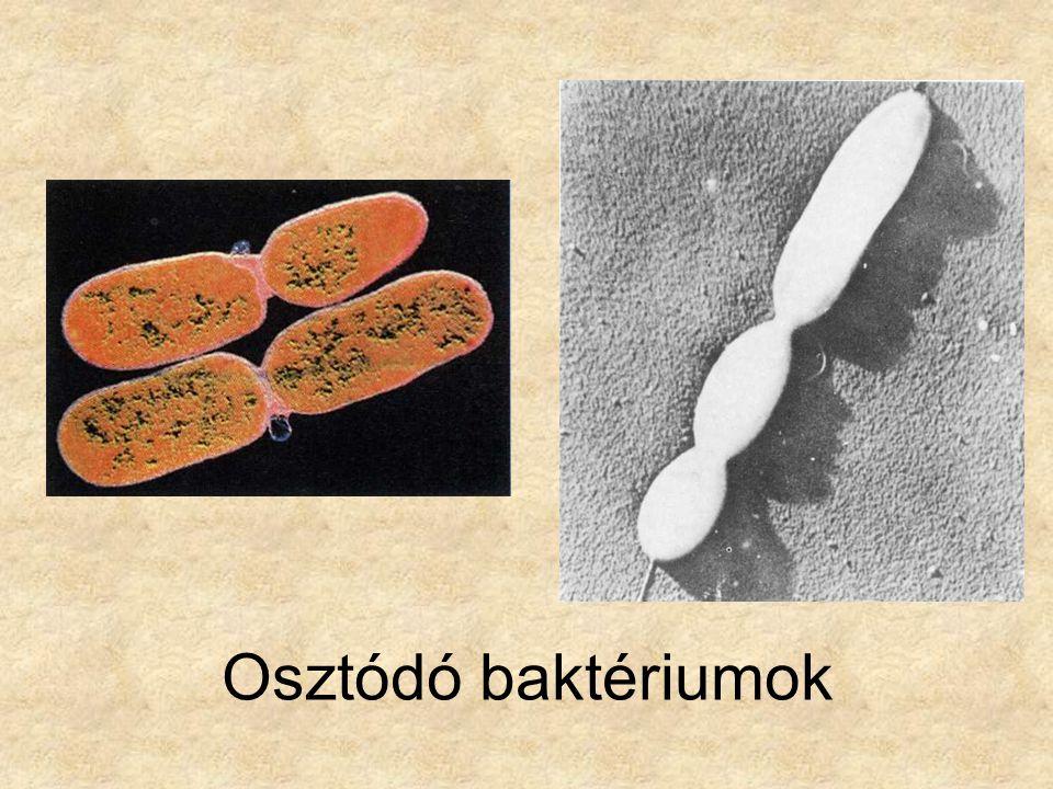 Osztódó baktériumok