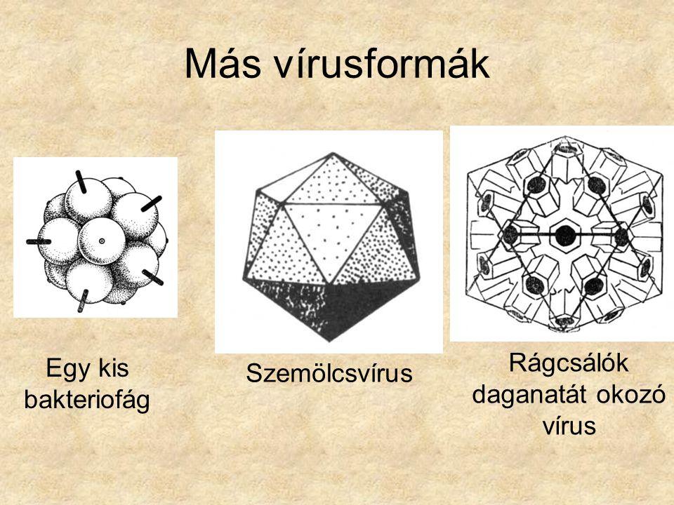 Más vírusformák Egy kis bakteriofág Rágcsálók daganatát okozó vírus Szemölcsvírus