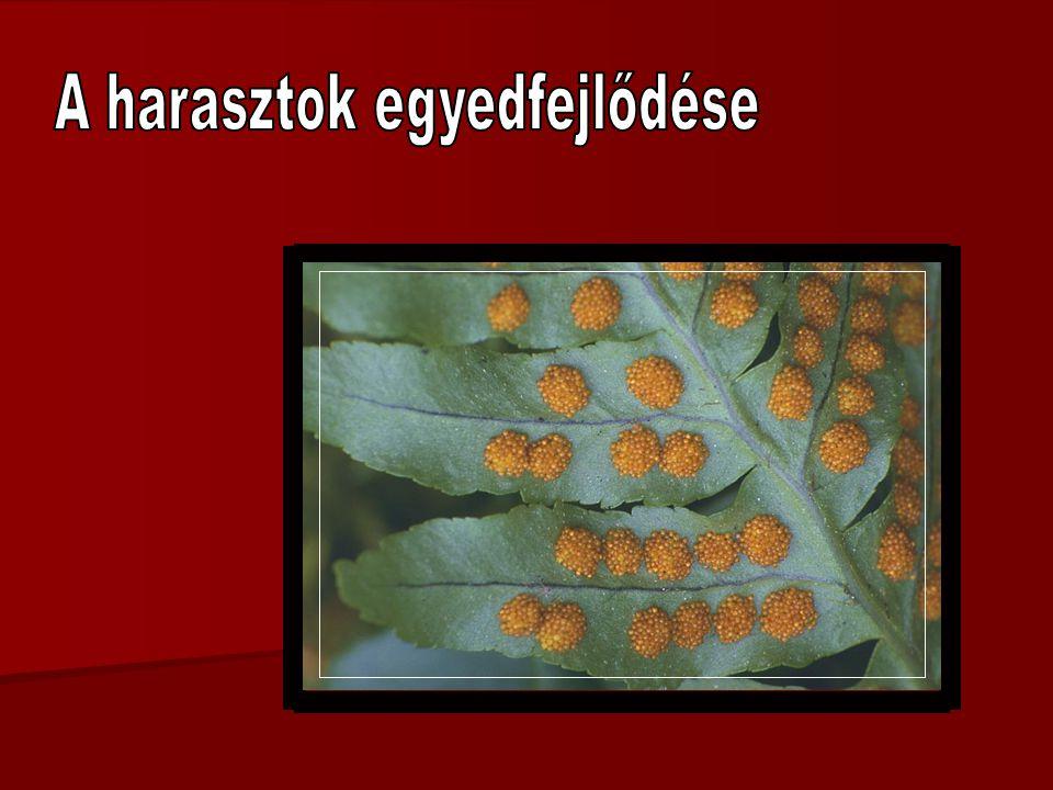 spóra lemezes előtelep ivarszervekkel harasztnövény spóratartó spóra zigóta (spóratartó) 1.1.