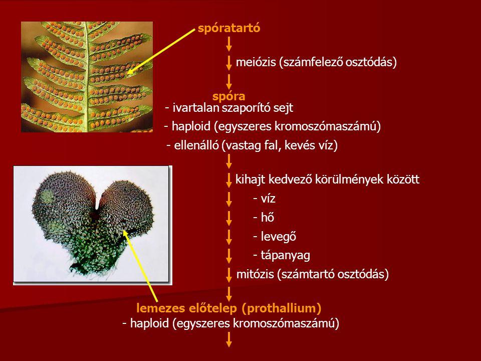 spóra meiózis (számfelező osztódás) - ivartalan szaporító sejt - haploid (egyszeres kromoszómaszámú) - ellenálló (vastag fal, kevés víz) kihajt kedvező körülmények között - víz - hő - levegő - tápanyag mitózis (számtartó osztódás) lemezes előtelep (prothallium) - haploid (egyszeres kromoszómaszámú) spóratartó