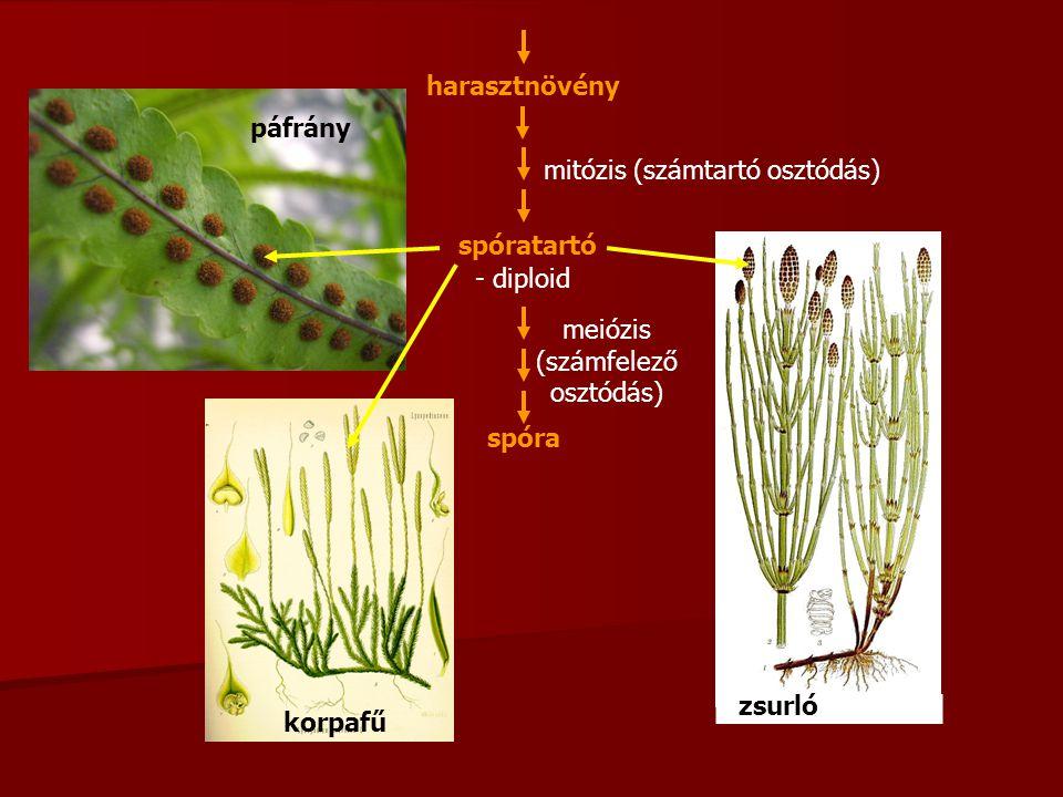 mitózis (számtartó osztódás) spóratartó - diploid spóra meiózis (számfelező osztódás) harasztnövény páfrány korpafű zsurló