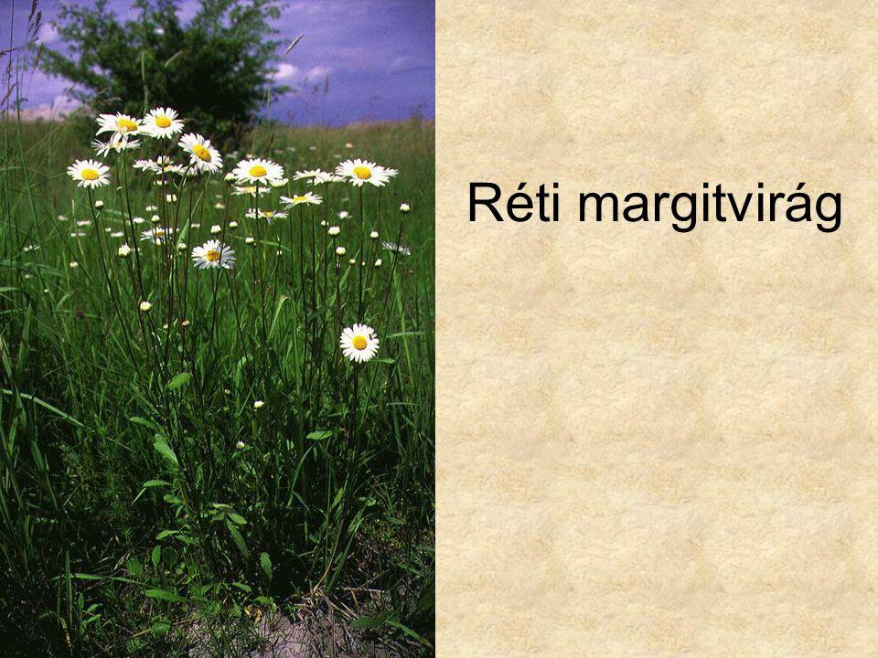 Réti margitvirág