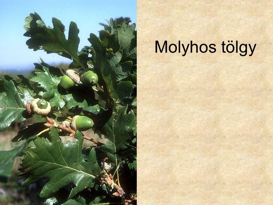 Molyhos tölgy