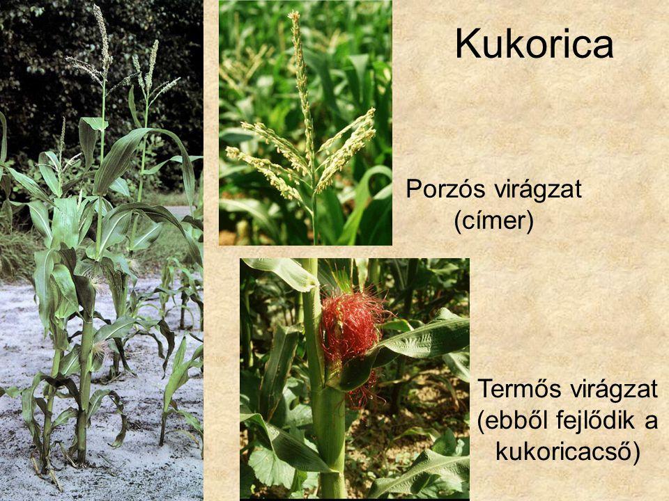 Kukorica Porzós virágzat (címer) Termős virágzat (ebből fejlődik a kukoricacső)