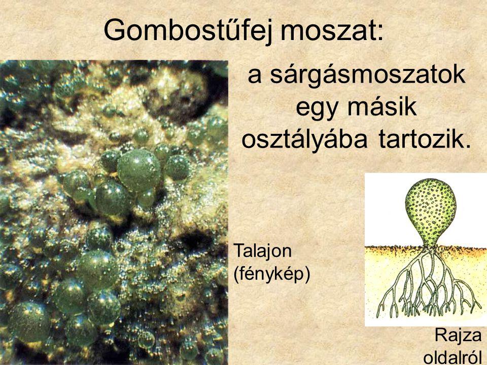 Gombostűfej moszat: Talajon (fénykép) Rajza oldalról a sárgásmoszatok egy másik osztályába tartozik.