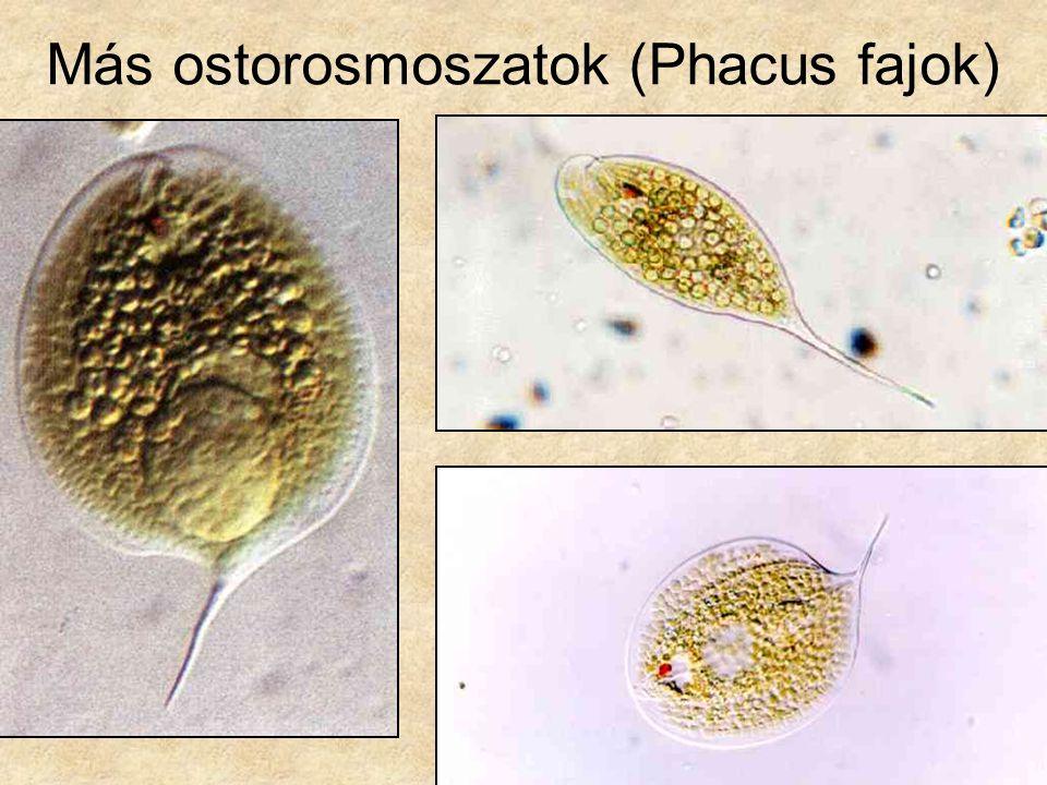 Más ostorosmoszatok (Phacus fajok)