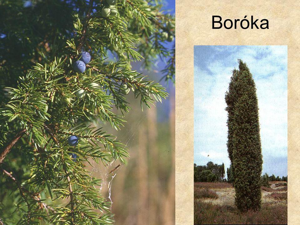 Boróka