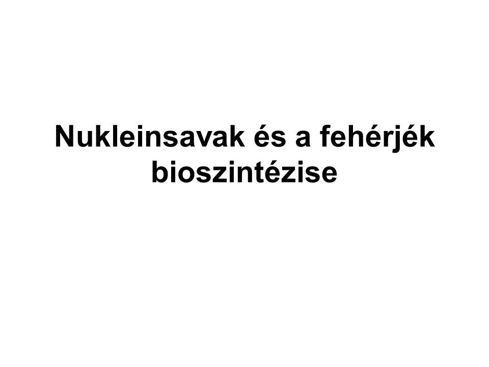 A nukleotidok felépítése A növények →a talajból, az állatok → a táplálékból, a csontok lehetnek foszfátraktárak + purinbázis (adenin, guanin), pirimidinbázis (citozin, uracil, timin) lebontó folyamatok köztes termékeiből, a lebontott molekulák nitrogénjéből vagy a növények a talajból felvett nitrogéntartalmú sókból származik + 5 C-atomot tartalmazó cukrok A szőlőcukorból minden szervezet elő tud állítani a nukleotidokat az alapegységekből enzimek kapcsolják össze megfelelő sorrendben Foszforsav (foszfátion) N-tartalmú szerves bázis pentóz
