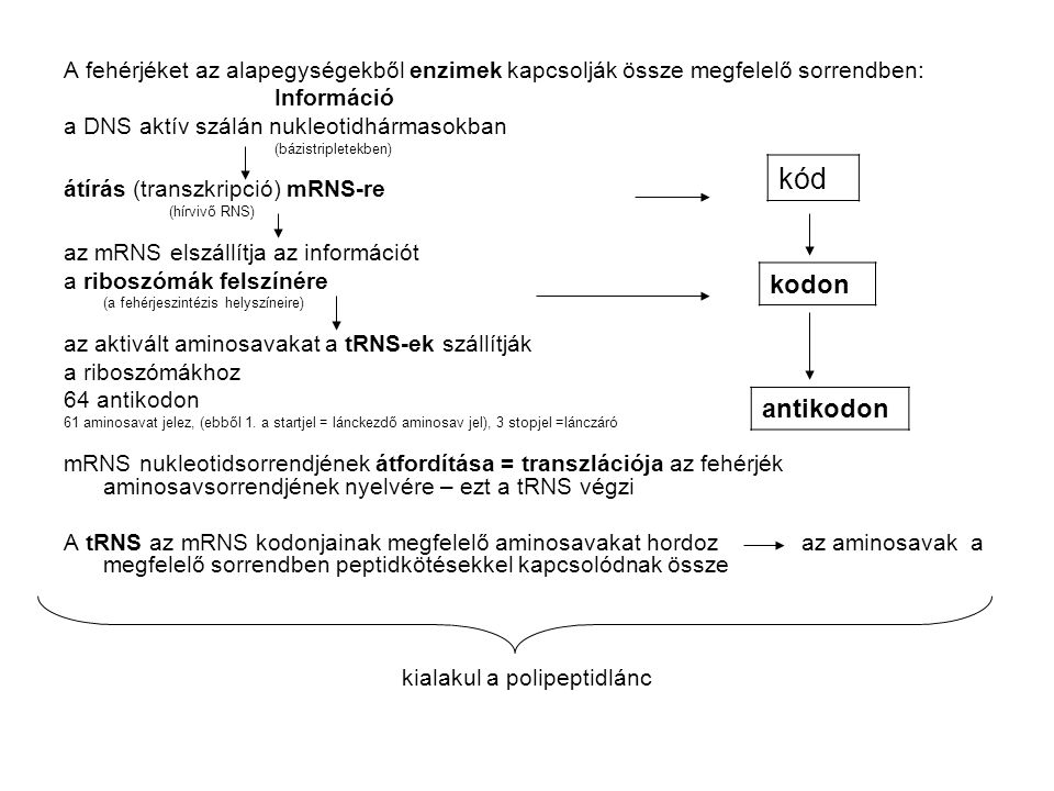 A fehérjéket az alapegységekből enzimek kapcsolják össze megfelelő sorrendben: Információ a DNS aktív szálán nukleotidhármasokban (bázistripletekben)
