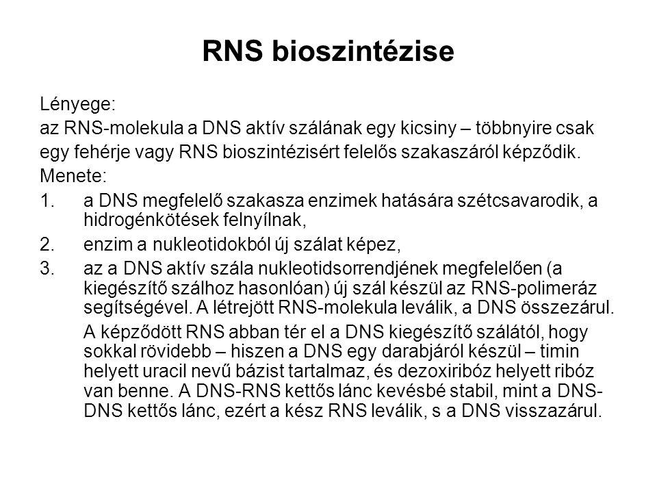 RNS bioszintézise Lényege: az RNS-molekula a DNS aktív szálának egy kicsiny – többnyire csak egy fehérje vagy RNS bioszintézisért felelős szakaszáról