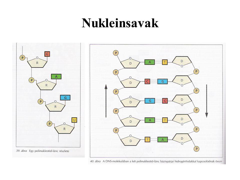 Nukleinsavak: DNS = dezoxiribonukleinsav Felépítése: foszforsav dezoxiribóz szerves bázis: purinbázis:adenin, guanin purimidinbázis: citozin, timin
